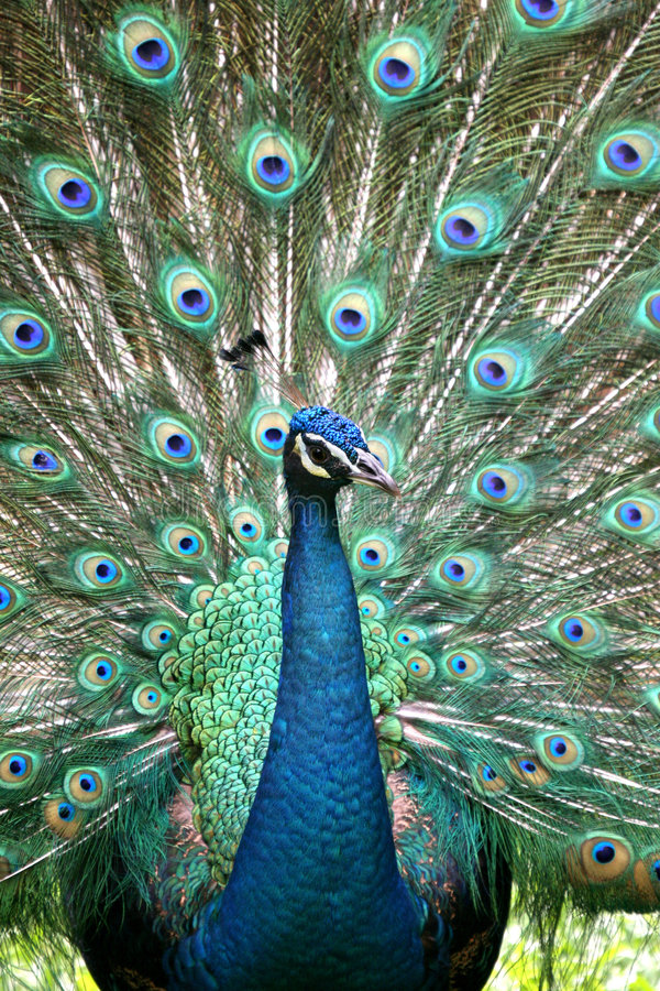 Free Peacock Royalty Free Stock Photography - 999307