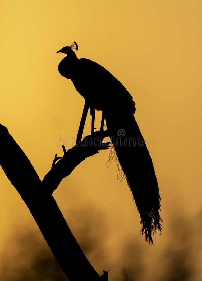 Peacock against the rising Sun at Bharatpur Bird Sanctuary,Rajasthan,India royalty free stock image