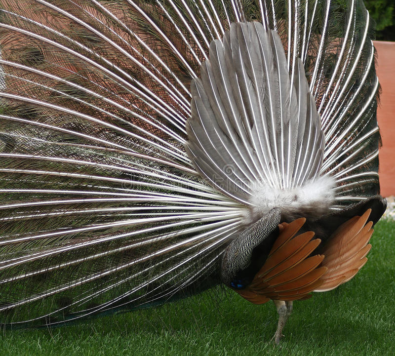 Peacock Back Stock Image