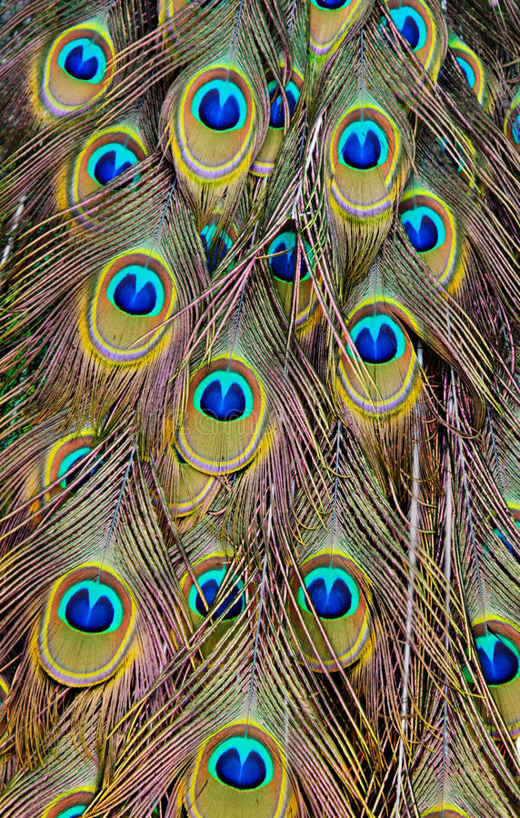 Free Peacock Background Stock Photo - 19264160