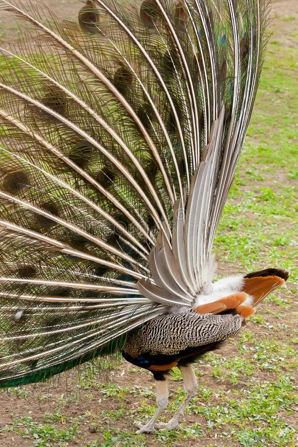 Peacock backside close up. Shot made in Reservation of Ascania N stock images