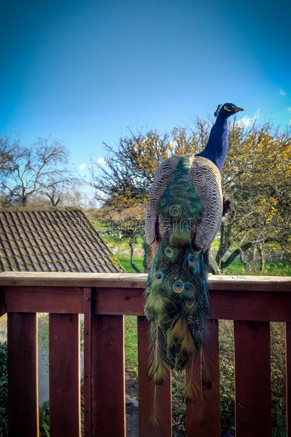 Peacock on the balcony royalty free stock photo