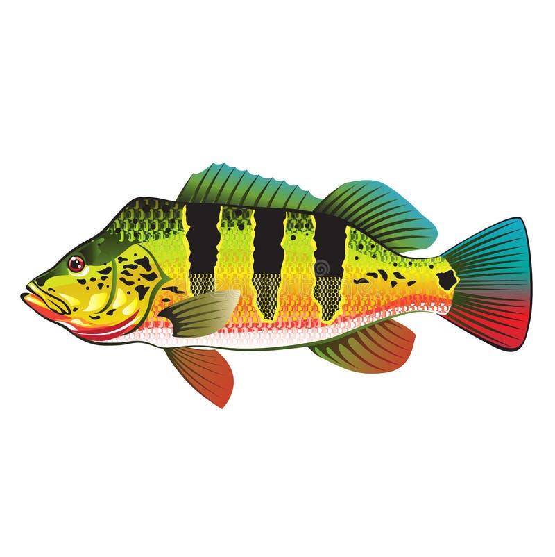 Peacock bass bright ocean gamefish illustration stock for Florida game fish