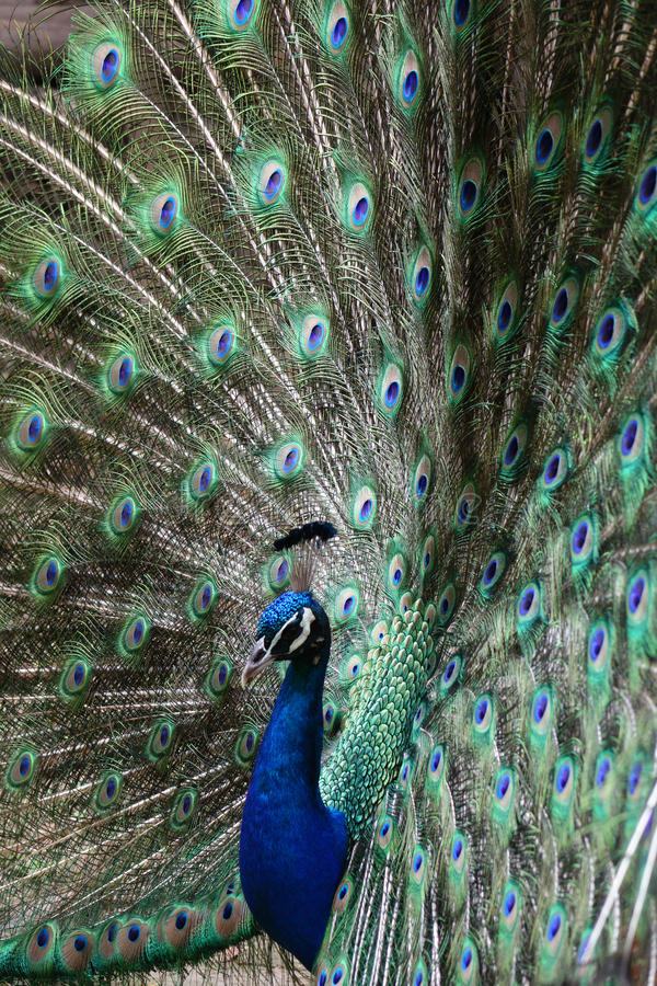 A peacock. With beautiful feathers stock photos