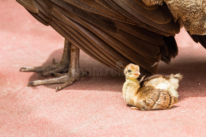 Peacock Bird Chick Protection. Peacock bird with young chick under mothers wing for protection security love stock photography