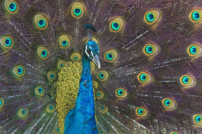 Peacock bird fully open royalty free stock photos