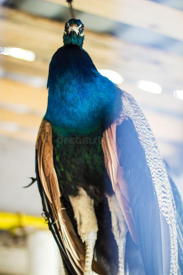 Peacock bird stock photo