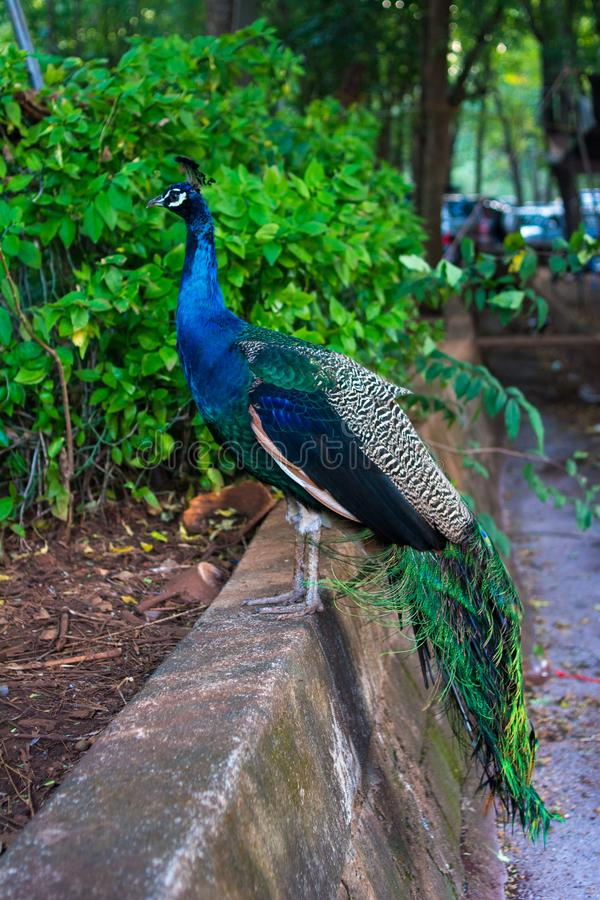 Peacock. A bird in the wild at The national Park royalty free stock images