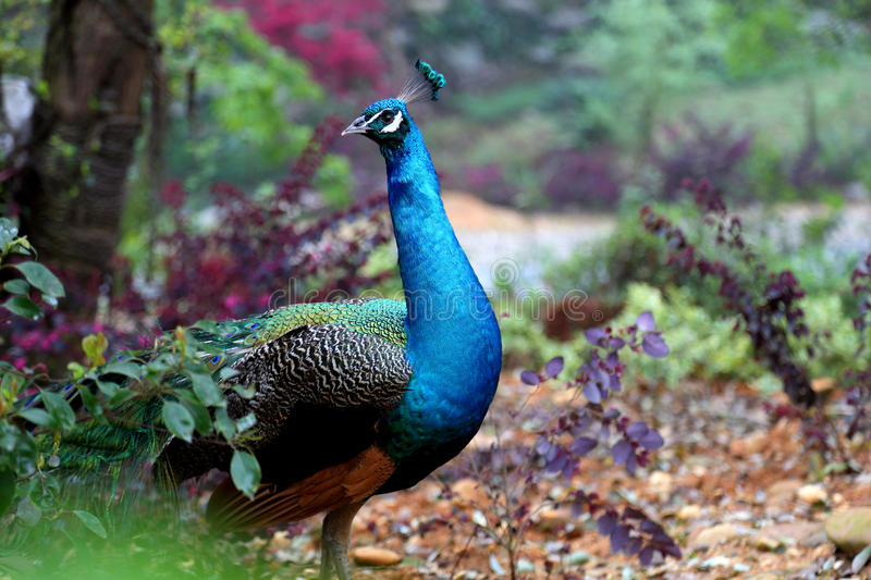 Peacock. This is a blue beautiful peacock in the woods royalty free stock photography