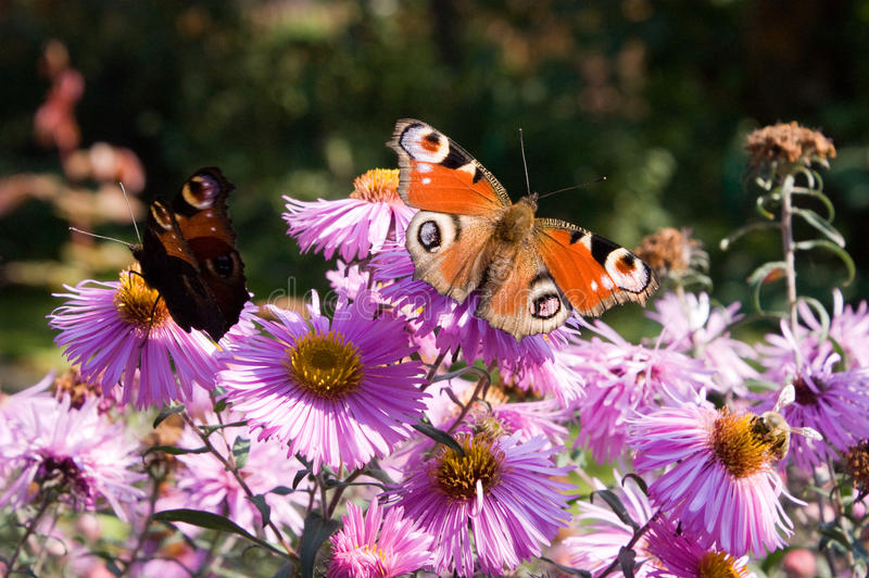 Peacock Butterflies On Aster Flowers Stock Photo