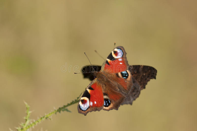 Peacock butterflies royalty free stock images