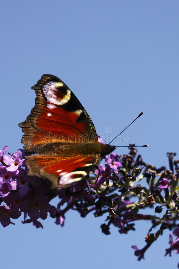 Download Peacock butterfly stock image. Image of peacock, inachis - 12457653