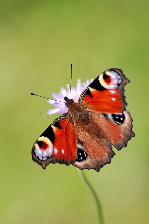 Download Peacock Butterfly stock image. Image of butterfly, nature - 17811297