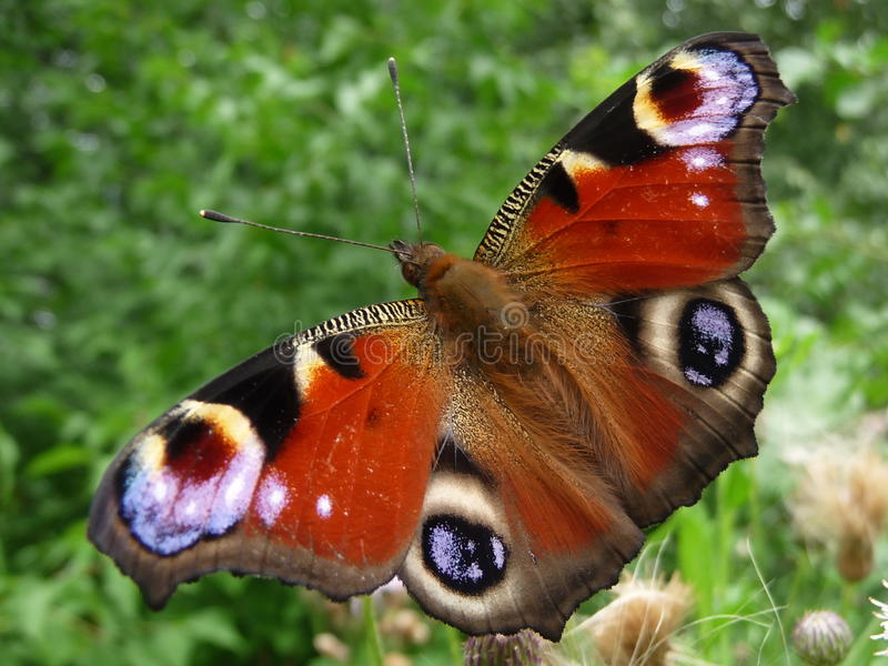 Download Peacock butterfly stock image. Image of insect, botanical - 19288195