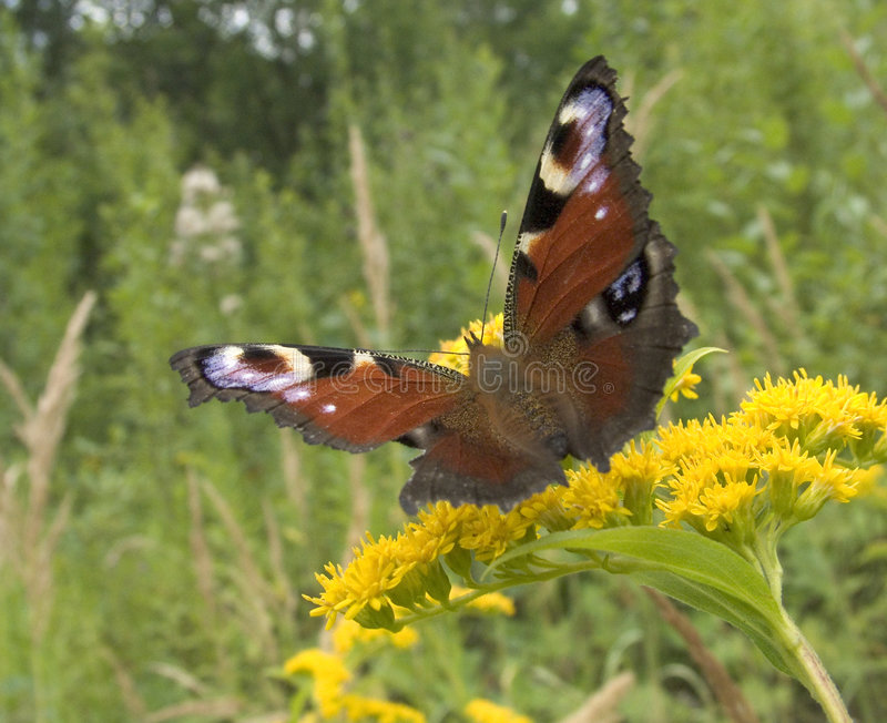 Download Peacock Butterfly Stock Photo - Image: 230840