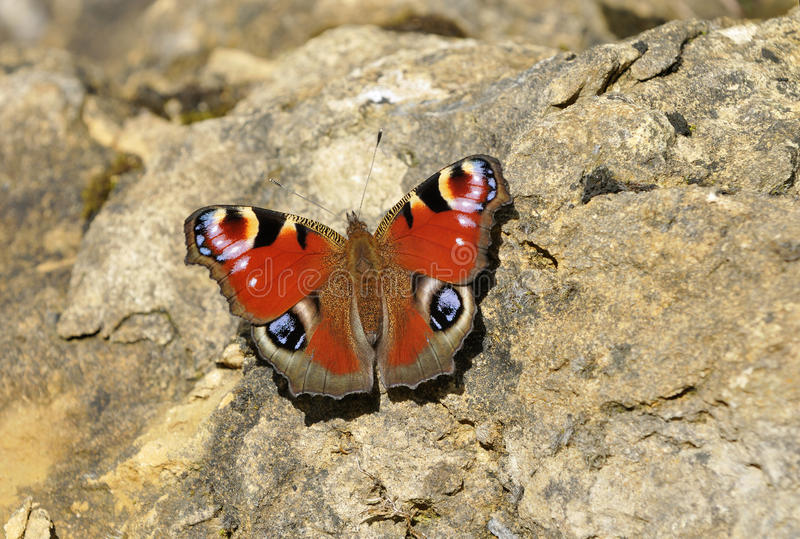 Peacock Butterfly. On Limestone Rock - Inachis io stock photos