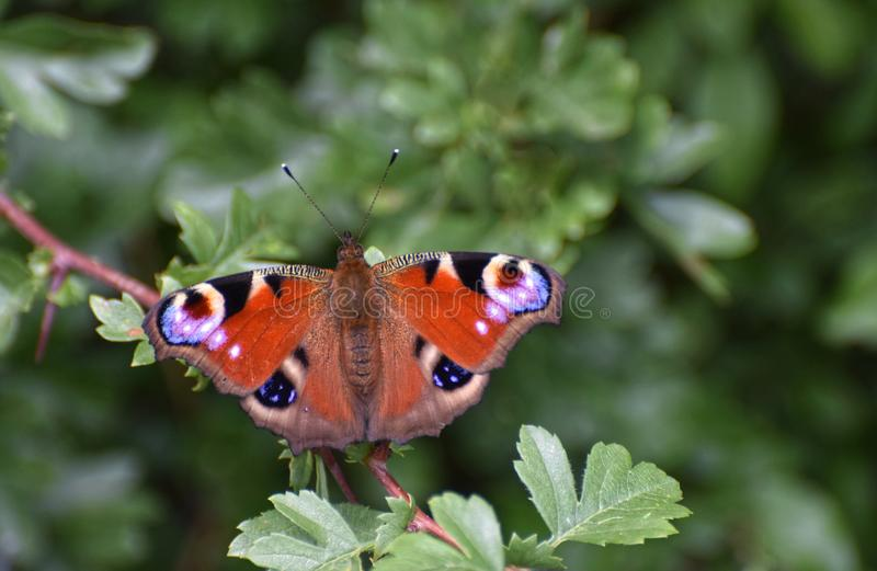 Peacock butterfly Aglais io on green hawthorn leaves. A peacock butterfly Aglais io resting with wings open on a green hawthorn hedge royalty free stock photo