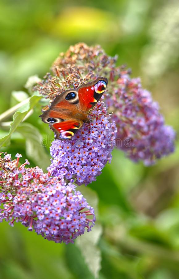 Peacock butterfly, on Buddleja florets. The vibrant colours of a Peacock butterfly, Aglais io, foraging for nectar on the purple florets of a Buddleja, davidii royalty free stock photos