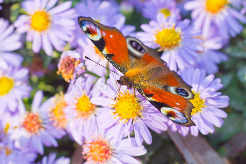 Peacock butterfly foraging on flower stock photo