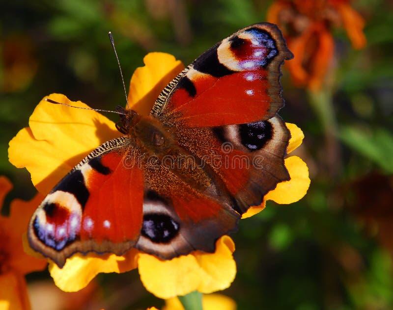 Peacock butterfly on orange flower stock photo