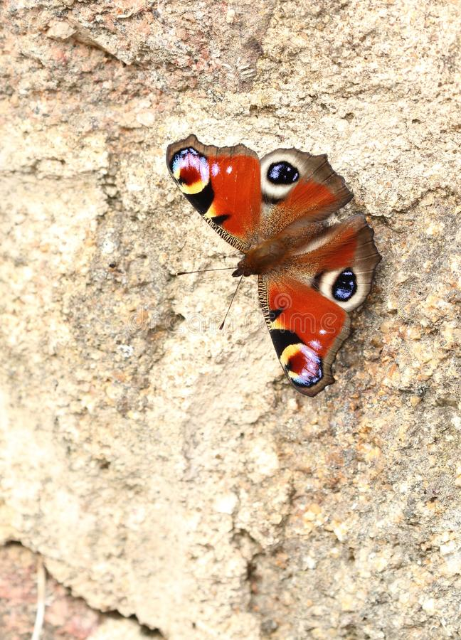 Peacock butterfly. On a stone wall royalty free stock images