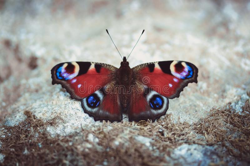Peacock butterfly resting on the ground on a Sunny summer day on a gray background. Butterfly with beautiful multi royalty free stock image