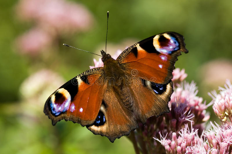 A peacock butterfly. Resting on a plant royalty free stock image