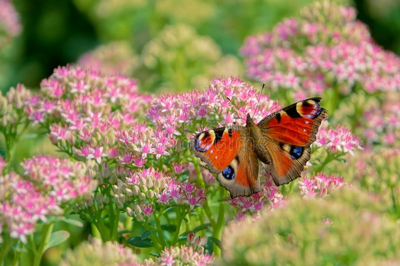 Peacock butterfly. The peacock butterfly on Sedum spectabile flowers. Scientific name: Aglais io royalty free stock photo