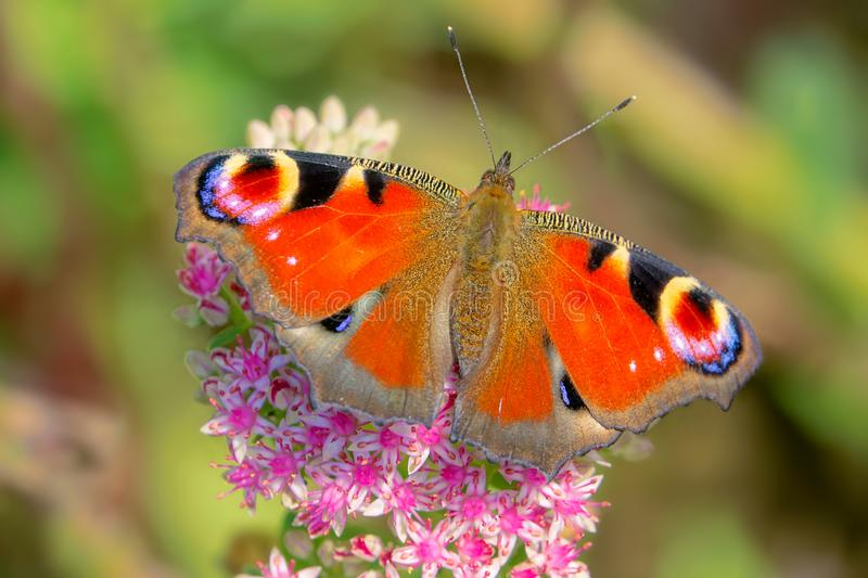 Peacock butterfly. The peacock butterfly on Sedum spectabile flowers. Scientific name: Aglais io royalty free stock photography