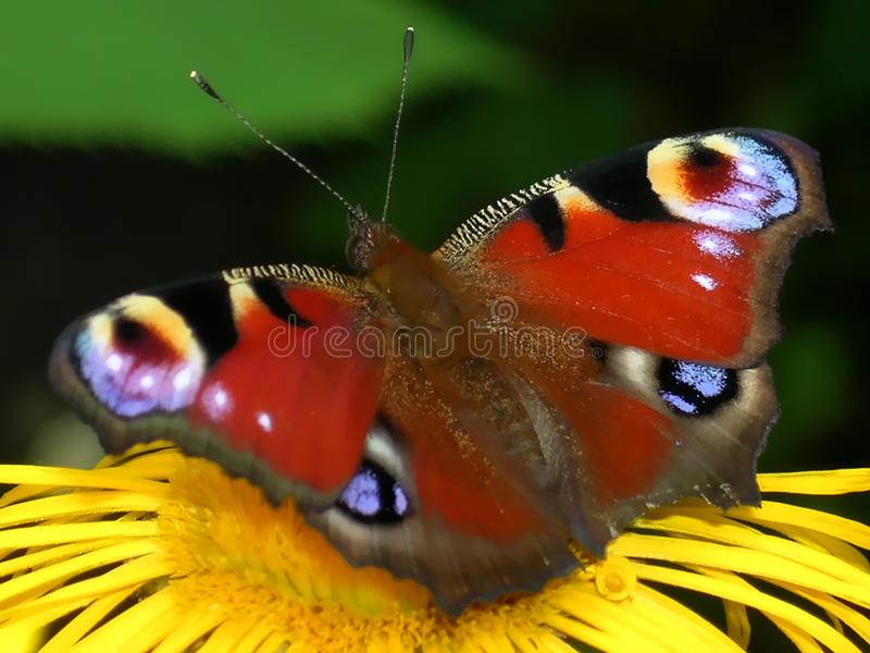 Peacock butterfly. Sitting on the horse-heal flower. TheEuropean Peacock(Inachis io), more commonly known simply as thePeacockbutterfly, is a stock photography