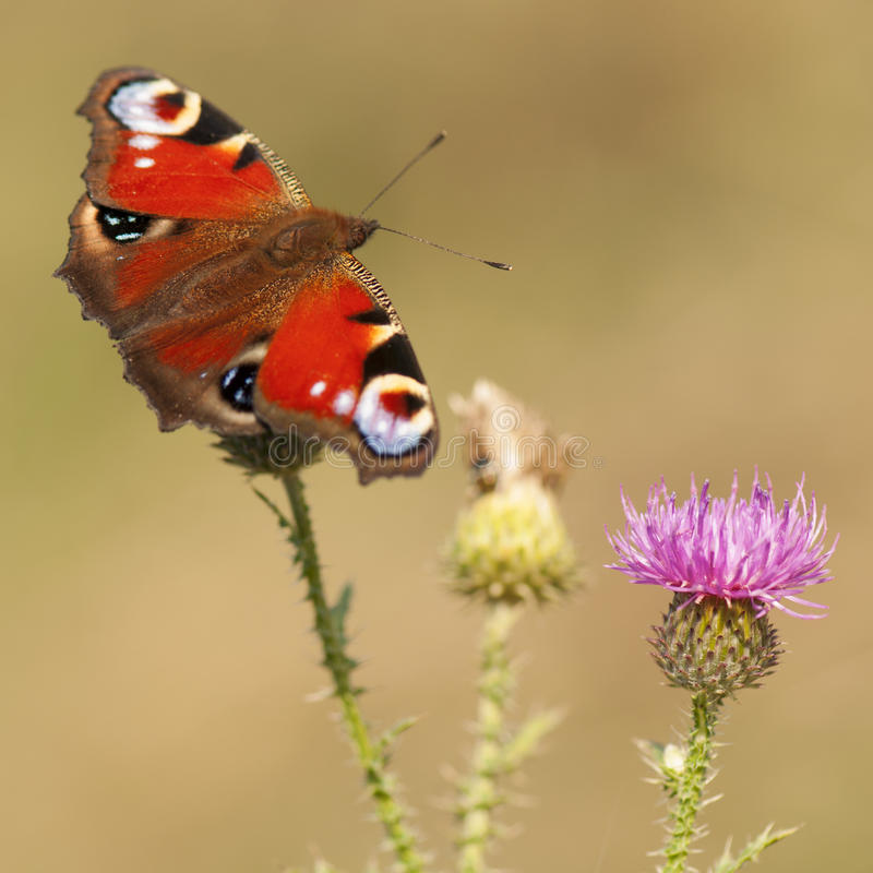 Peacock butterfly on thistle flower royalty free stock photography
