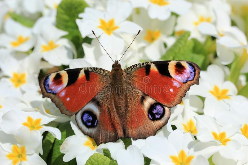 Peacock butterfly on a white floral background closeup. Peacock butterfly resting on a white primrose flower. Butterfly stock photo