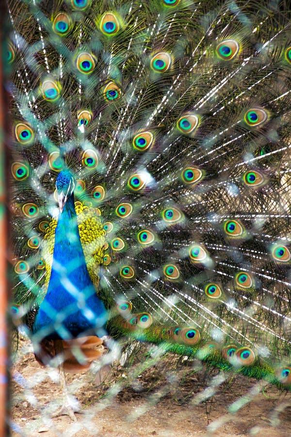 Peacock In Cells stock photos