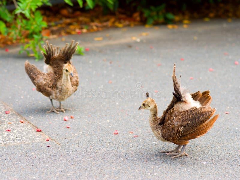 Download Peacock Chicks Practising Displaying Stock Images - Image: 1789314
