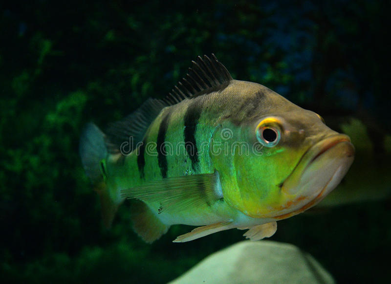 Peacock cichlid stock photos