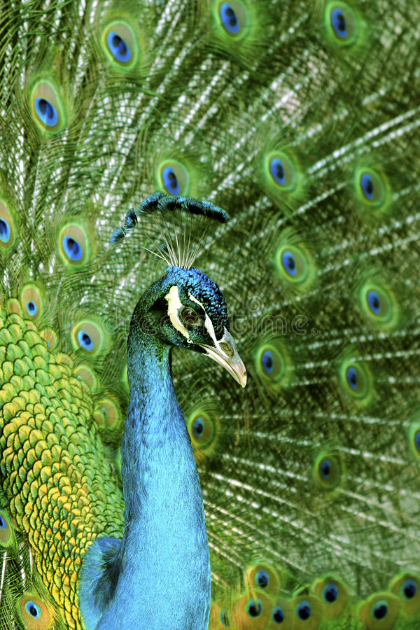 Download Peacock close-up stock photo. Image of romance, neck, feather - 2364368
