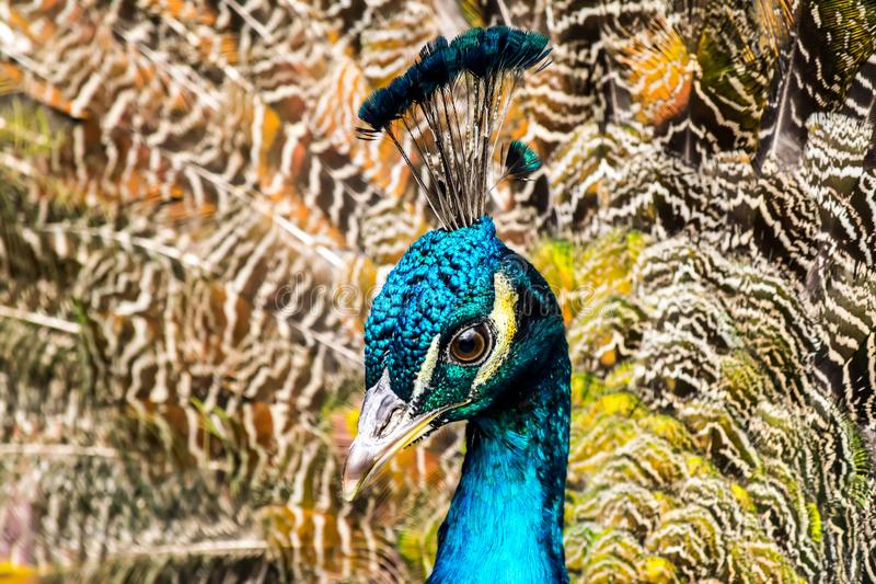 Peacock close-up on the background of fluffy multi-colored tail feathers royalty free stock photography