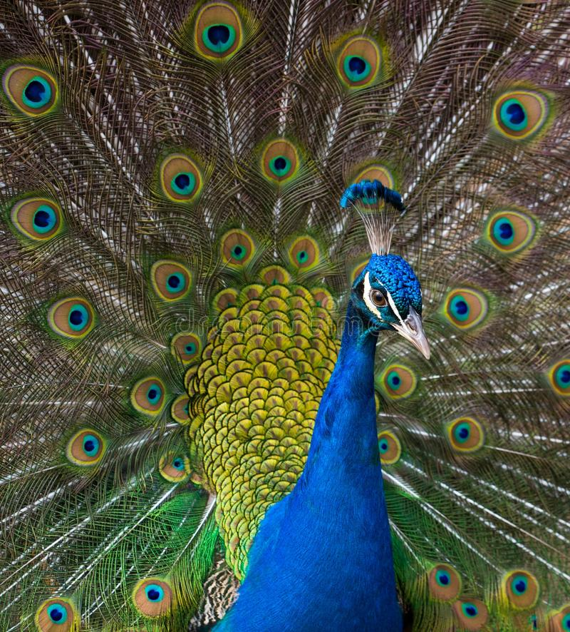 Peacock. Close-up shot of a peacock stock photography