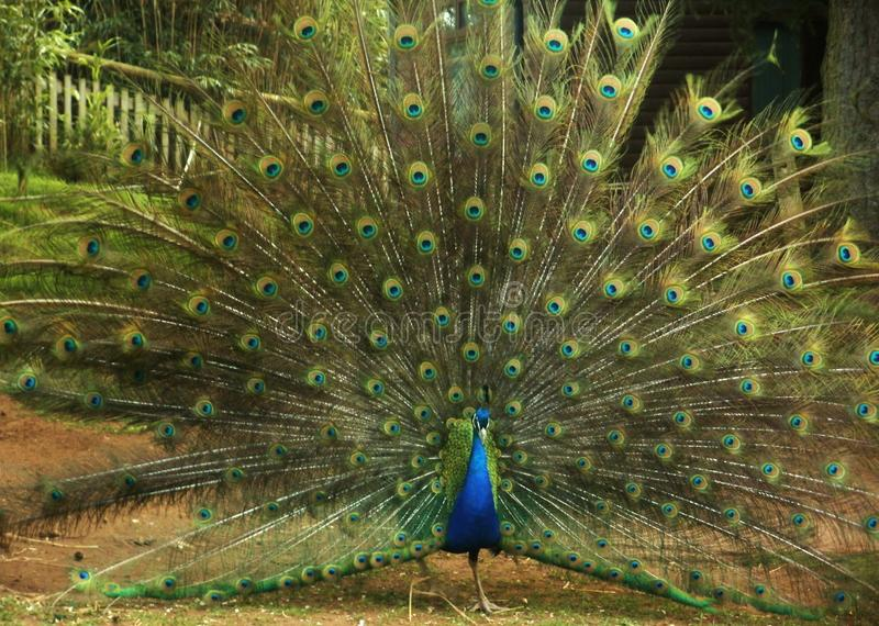 Peacock colorful display full tail show royalty free stock image