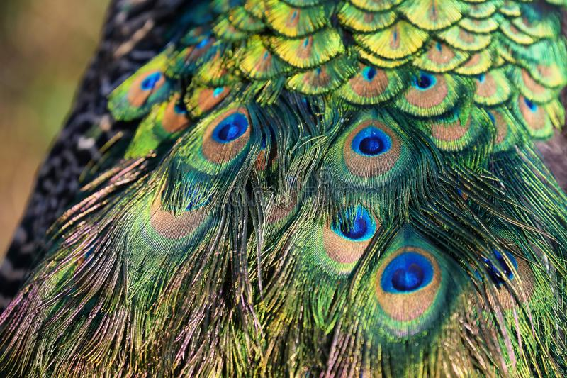 Peacock colorful feathers. Peacock colorful feather closeup background royalty free stock photography