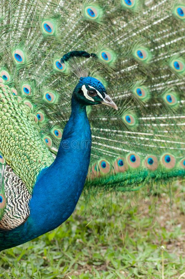 Peacock with colorful plumage. Closeup of peacock with colorful plumage stock images