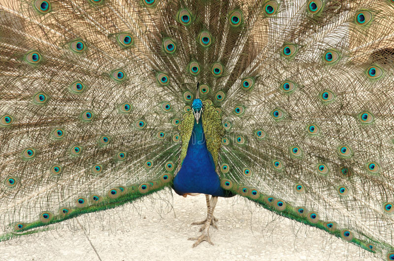 Peacock. Colorful peacock. A peacock show his tail stock photo