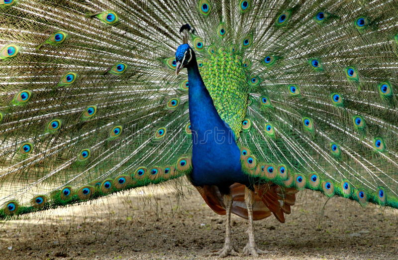 Download Peacock Royalty Free Stock Image - Image: 31988506