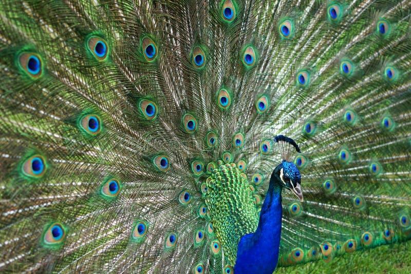 Peacock dance stock photo