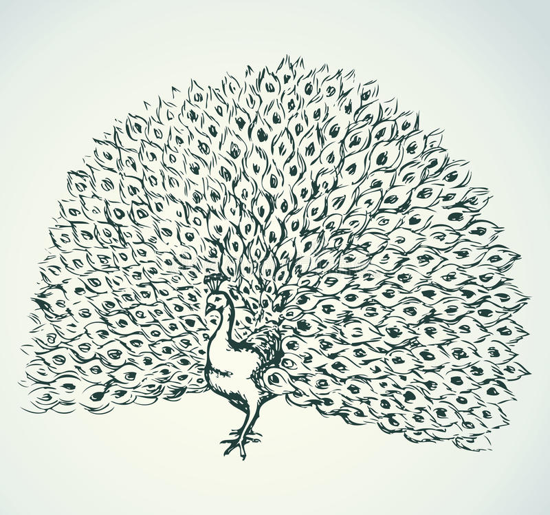 peacock Desenho do vetor ilustração stock