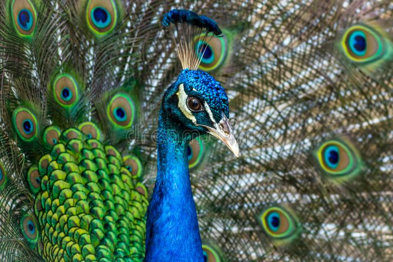 Peacock displaying brilliant plumage in blue and green hues. Peacock male, Phasianidae, displaying brilliant plumage in blue and green hues, animal, bird stock images