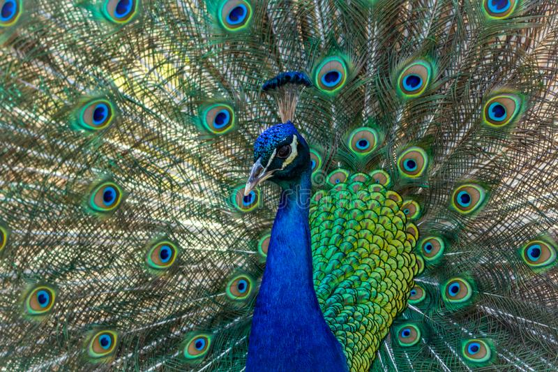 Peacock displaying brilliant plumage in blue and green hues. Peacock male, Phasianidae, displaying brilliant plumage in blue and green hues, animal, bird royalty free stock images