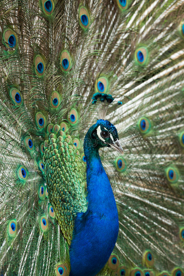 Download Peacock Displaying Feathers Stock Photo - Image: 25247984