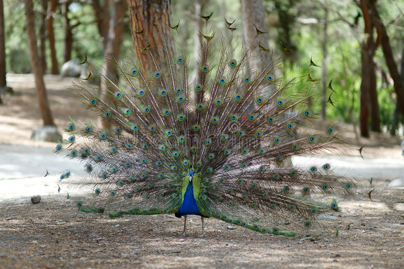 A peacock displaying his plumage royalty free stock photo