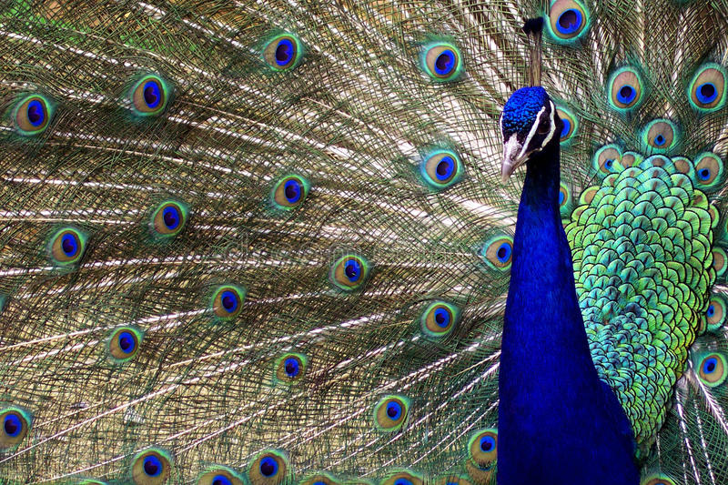 Peacock in full diplay royalty free stock images